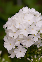 Phlox paniculata David (white)