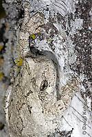 0202-0904  Eastern Gray Treefrog on White Bark Detail of Head (Grey Tree Frog), Hyla versicolor  © David Kuhn/Dwight Kuhn Photography