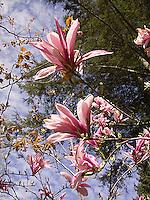 Magnolia flowers<br />