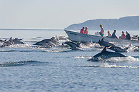 Common dolphins (delphinus delphis). Dolphins charging past a tourist boat. Gulf of California., Baja California, Mexico, Pacific Ocean