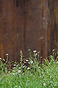 Glamourlands: a Techno-Folly, Heywood & Condie, RHS Chelsea Flower Show 2012. Wildflowers planted against rusted steel wall include Ox-eye daisies (Leucanthemum vulgare).