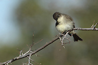 Eastern Phoebe with curious pose, just after a bath..