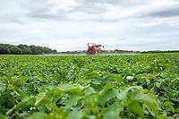 Blight spraying potatoes - Norfolk, July
