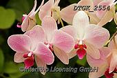 Gisela, FLOWERS, BLUMEN, FLORES, photos+++++,DTGK2554,#f#, EVERYDAY ,orchids