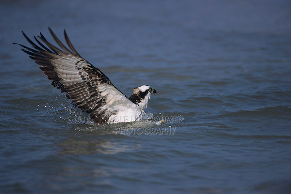 Osprey, Pandion haliaetus,adult catching fish, Sanibel Island, Florida, USA