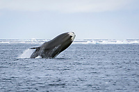 bowhead whale, balaena mysticetus, breaching, among ice floe edge, Baffin Island, Nunavut, Canada, Arctic Ocean