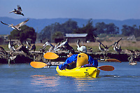 Eco-Tourists and BROWN PELICANS (Pelecanus Occidentalis) sharing the environment in ELKHORN SLOUGH - MOSS LANDING, CA