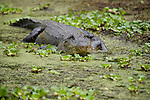 Columbia Ranch, Brazoria County, Damon, Texas; an adult American Alligator (Alligator mississippiensis) resting near the bank in very shallow water, it's entire body is visible