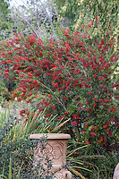 Callistemon 'Slim', red flowering shrub, Australian Native Plant Nursery, Ventura, California