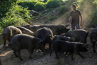 Europe/France/2A/Corse du Sud /Levie : Ferme-Auberge: A Pignata, Antoine Rocca-Serra et ses porcs  corses [Non destiné à un usage publicitaire - Not intended for an advertising use]