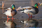 Two mallard drakes standing on ice at the edge of the water