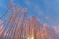 Pink sunrise light falls on Birch and Aspen trees of the boreal forest on a December morning in Fairbanks, Alaska.
