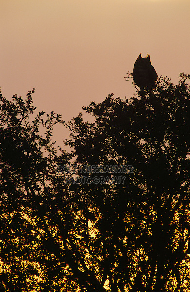 Great Horned Owl, Bubo virginianus, adult on tree at sunset, Lake Corpus Christi, Texas, USA, March 2003