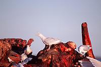 glaucous-winged gulls, Larus glaucescens, feeding on a bowhead whale carcass, Balaena mysticetus, Arctic National Wildlife Refuge, Alaska