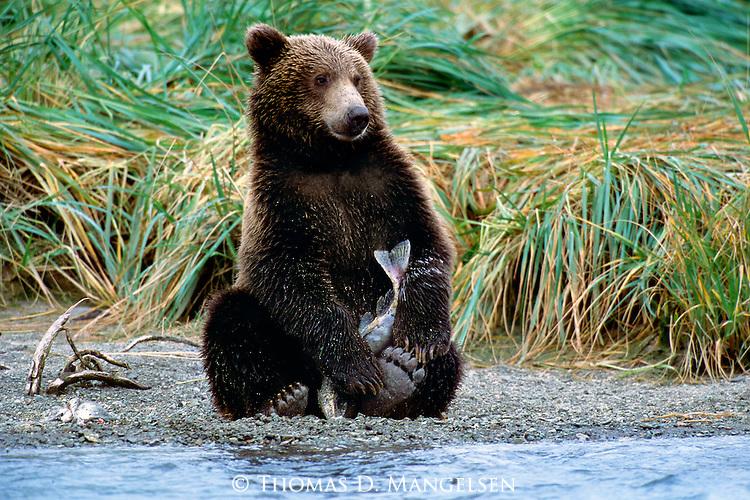 The Prize - Alaskan Brown Bear (Ursus arctos) Alaska Peninsula, AK..Print 2791