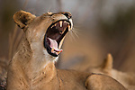 African Lion (Panthera leo) four year old female yawning, Kafue National Park, Zambia
