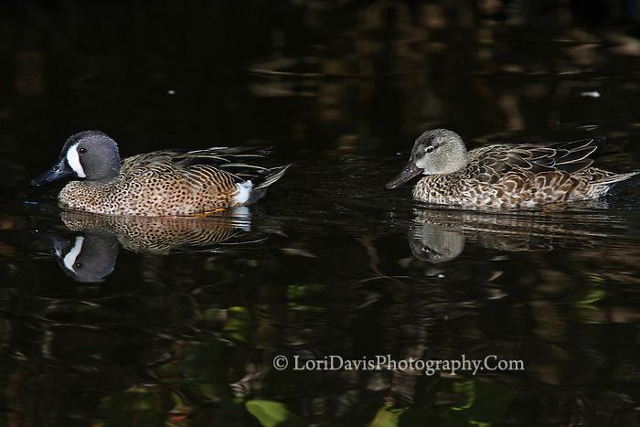 Blue-Winged Teal Pair, Male & Female  #B41