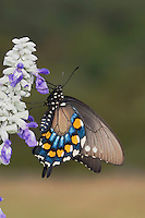 Pipevine Swallowtail, Battus philenor, adult sipping nectar from Mealy sage (Salvia farinacea), Uvalde County, Hill Country, Texas, USA, April 2006