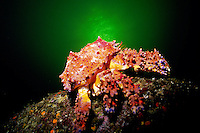 Puget Sound King Crab  (Lopholithodes mandtii) underwater in Jervis Inlet, British Columbia, Canada.