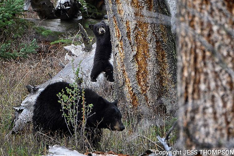 Black Bear Cub up a treee in Yellowstone