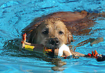 Lexi swims during the second annual Pooch Plunge at the Carson City Aquatic Center in Carson City, Nev., on Saturday, Sept. 18, 2010..Photo by Cathleen Allison