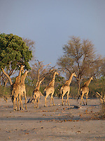 Giraffes on the move in search of food in the Okavango Delta, Botswana Africa.