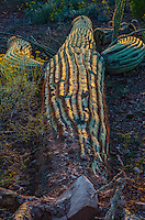 Fallen saguaro cactus (Carnegiea gigantea).  Saguaro National Park, Ariz.  March.  Late evening light.
