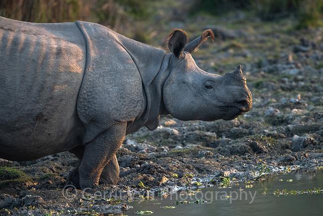 greater one-horned rhinoceros (Rhinoceros unicornis). Kaziranga National Park, India.