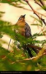 Great-Tailed Grackle Female, Lake Havasu, Arizona