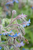 Borage in bloom with blue flowers with bees, Borago officinalis