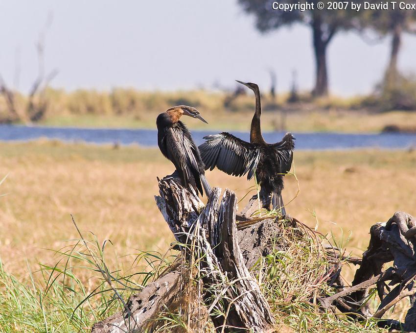 African Darter aka Snakebird, Chobe Riverfront, Botswana