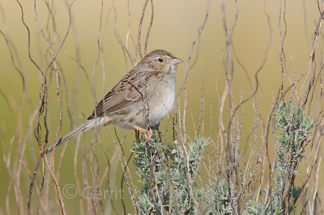 Adult Cassin's Sparrow (Aimophila cassinii) in sage. Cimarron National Grassland, Kansas. April.