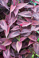 Persicaria microcephala Red Dragon with purple red foliage