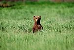 Brown bear cub, McNeil River Bear Sanctuary, Alaska