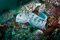 An adult male Wolf Eel (Anarrhichthys ocellatus), Queen Charlotte Strait, British Columbia, Canada.