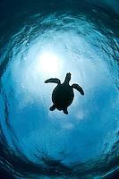 Turtle Silhouette