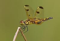 Calico Pennant (Celithemis elisa) Dragonfly - Female, Ward Pound Ridge Reservation, Cross River, Westchester County, New York