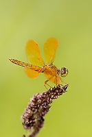 304570022v a wild male mexican amberwing perithemis intensa perches on a flower stem along the edge of roper lake in roper lake state park cochise county arizona