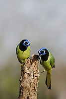Green Jay (Cyanocorax yncas), pair, Sinton, Corpus Christi, Coastal Bend, Texas, USA