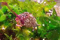 Punktierter Seehase, Gemeiner Seehase, gibt bei Beunruhigung einen violetten Farbstoff ab, Farbwolke, mit Laich, Laichschnur, Aplysia punctata, European sea hare, Sea hare, sea slug, marine Nacktschnecke