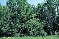 SC01-030z  Plant succession meadow - 4th stage, hardwood growth final stage - (series - SC01-027z,028z,029z,030z)