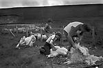 Crofting Shetland Islands, sheep shearing, father and his two sons helping out. 1970s.