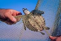 Juvenile Hawksbill Turtle, Eretmochelys imbricata, in fishing net - Red Sea.