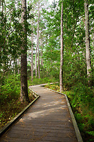 Outer Banks Nature Walk, near Currituck Light House, North Carolina.  Example of forest on a barrier island.   Loblolly pine (pinus taeda) and live oak (quercus virginiana) are the dominant trees; wax myrtle (myrica cerifera) is the dominant shrub.
