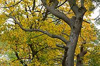 GERMANY, Mecklenburg, forest in autumn / DEUTSCHLAND, Mecklenburg-Vorpommern, intakter Wald, Laubwald mit buntem Laub im Herbst, knorrige Kiefer