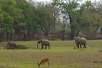 Searching for water and good grazing 3 elephants traverse a meadow with Puka grazing in the South Luangwa Valley, Zambia Africa.