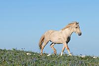 Wild Horse stallion or feral horse (Equus ferus caballus).  Western U.S., summer.