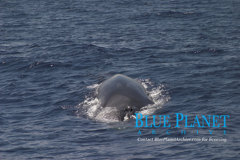 Asymetric coloration, fin whale, Balaenoptera physalus, Azores Islands, Portugal, North Atlantic