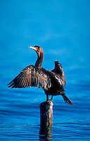 A Double-Crested Cormorant drying its wings.