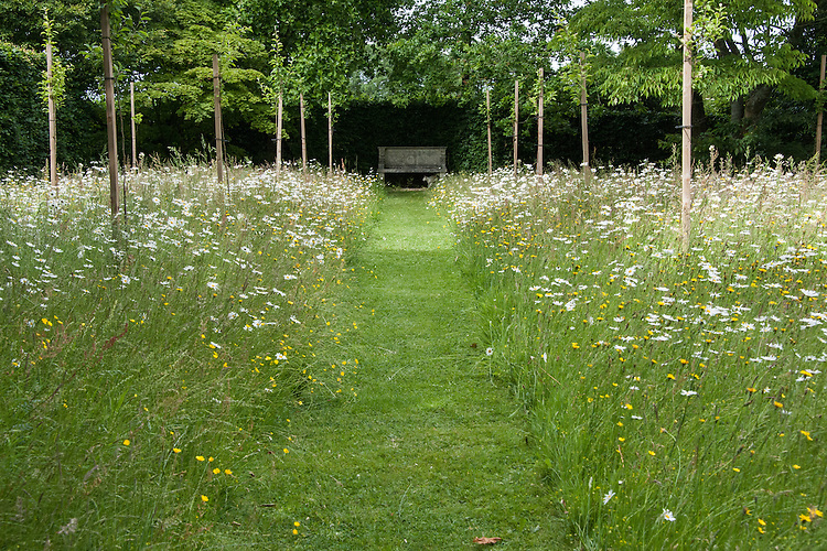Orchard of young apple trees with wildflower meadow planting of Ox-eye daisies, Clinton Lodge Garden, Fletching, East Sussex, mid June.